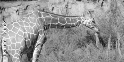 Horizontal Giraffe